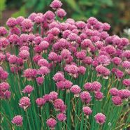 Chives Herb ORGANIC Seeds
