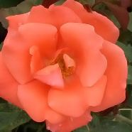 Rose City Of Leeds Floribunda (5 Ltr)