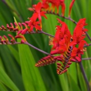 Crocosmia Lucifer (5 Bulbs)
