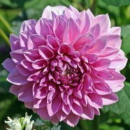 Dahlia Lavender Perfection (1Root)