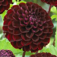 Dahlia Dark Spirit (1 Root)