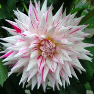 Dahlia Mick's Peppermint (1 Root)