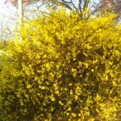 Forsythia x intermedia Weekend (9cm)