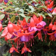 Fuchsia Mrs Popple (1.5 Ltr)