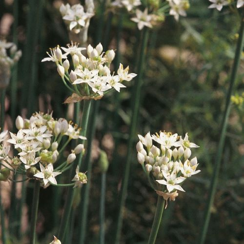 Garlic Chives Seeds
