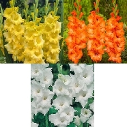 Gladioli Premium Collection