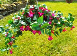 Hanging Basket With Pink Fuchsia Flowers