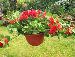 Hanging Basket With Red Geraniums