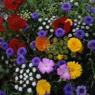 Annuals Hardy Tall Cut Flower Mix Seeds
