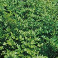 Parsley French Herb Seeds