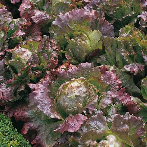 Lettuce Marvel Of Four Seasons ORGANIC Seeds
