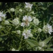 Mint Mountain Herb Seeds