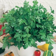Parsley French Herb ORGANIC Seeds
