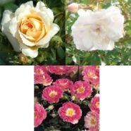 . Rose Patio Collection ( 5 Roots)