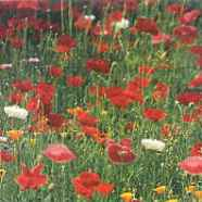 Poppy Wildflower Mix Country Value Range Seed