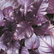 Basil Purple Leaved Herb Seeds