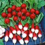 Radish Mixed ORGANIC Seeds