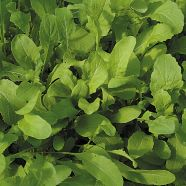 Rocket Salad ORGANIC Seeds