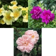 . Rose Rambling Collection (5 Roots)