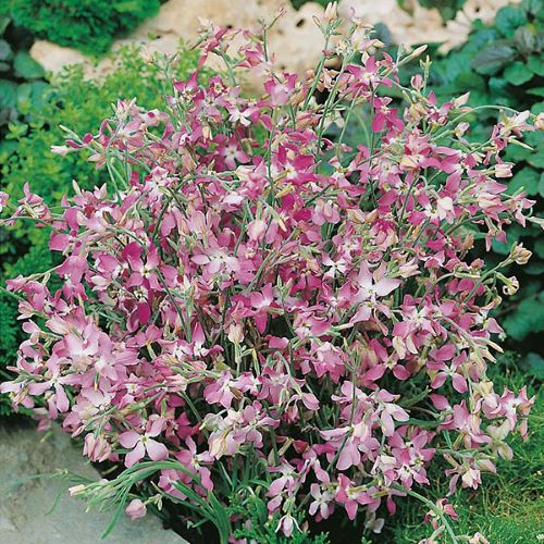 Stock Night Scented Seeds