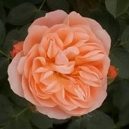Z Rose Sweet Dreams Patio (5 Ltr)