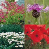 Wildflower Classic Meadow 80 20 Mix Seeds